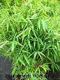 Bambus China Rohrgras Fargesia murielae Jumbo 150 cm hoch im 12 Liter Pflanzcontainer