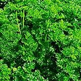 Petersilie Triple Moss Curled - 500 Samen