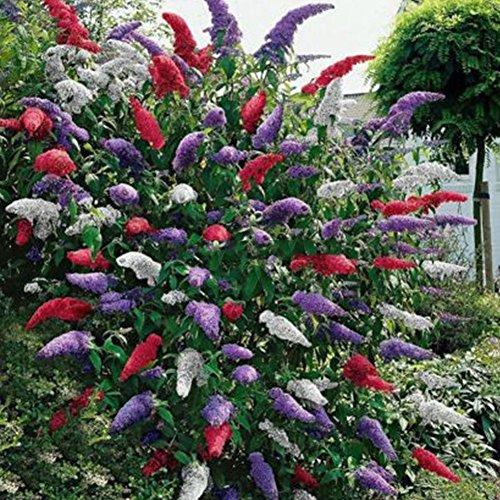 Oce180anYLV 20 pz colorato farfalla cespuglio semi buddleia fiore profumato giardino piante semi