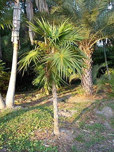 PLAT FIRM Thrinax Radiata - Florida Thatch Palm - 20 Samen