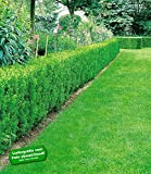BALDUR-Garten Eiben-Hecke, 10 Pflanzen Taxus baccata