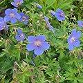 lichtnelke - Himalaya-Storchschnabel (Geranium himalayense 'Johnsons Blue') von Lichtnelke Pflanzenversand auf Du und dein Garten