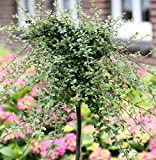 Hochstamm Kriechmispel Streibs Findling 60-80cm - Cotoneaster dammeri