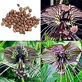 FERRY HOCH KEIMUNG Seeds Nicht NUR Pflanzen: Typ2: 20 / 50PcsGarden Balkon Schöne Bonsai Fledermausblume Bat Ehe8