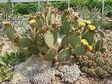 Kakteengarten 1 Pflanze winterharte Opuntia strigil / Feigenkaktus im 9cm Topf