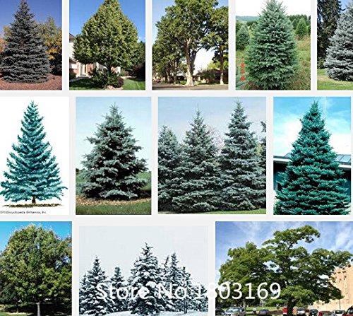 10-colores-bonsai-azul-de-colorado-picea-pungens-100-piezas-semillas-de-plantas-de-hoja-perenne-rbol