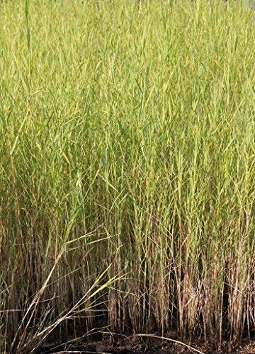 4er-Set im Gratis-Pflanzkorb - Phragmites australis - Schilf - Repositionspflanze - Wasserpflanzen Wolff