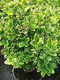 immergrüner Spindelstrauch Euonymus japonica Aurea 60 - 80 cm hoch im 3 Liter Pflanzcontainer