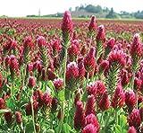 3000 graines de trèfle incarnat ou de graines de trèfle italiennes, améliorer votre sol de jardin, Cover-crop!