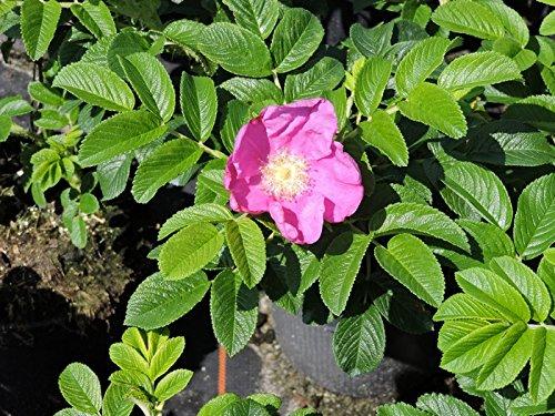 5 Stück rosa Hecken- Apfel- Kartoffelrose- Hagebutte (rosa rugosa) im Container 40-60 cm