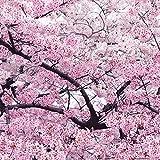 Riesen japanischen Rosa Kirschblüten Sakura Baum, 20 Samen, Oriental süße Prunus Blumensamen E3752