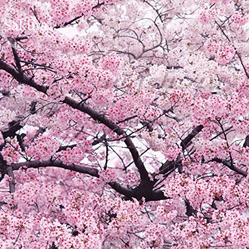 Cerisiers A Fleurs Prunus D Ornement