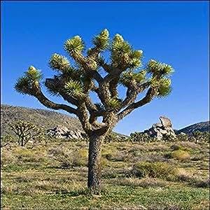 TROPICA - Joshua Tree (Yucca brevifolia) - 10 semi