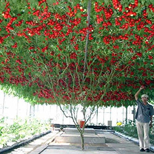 100 graines / paquet Graines rares Noir tomate très savoureux Nutritive bruyères Légumes Graines Bonsai pour jardin plantation Easy Grow Bourgogne