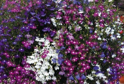 lobelia-fountains-mix-04-gram-approx-12000-seeds-trailing