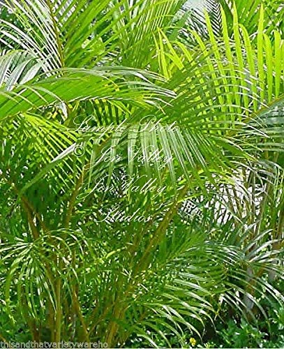 PLAT FIRM GERMINATIONSAMEN: 10 Samen: Chrysalidocarpus lutescens Areca Palm Premium-Samen Bright Green Leaves