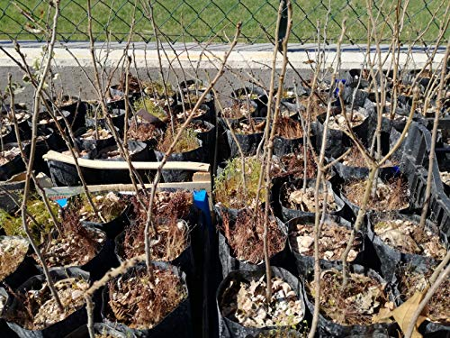 4 piante cerro micorizzate con tartufo scorzone nero estivo (tuber aestivum vitt.)