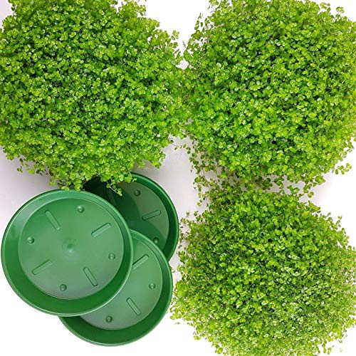 3 Bubikopf + mit 3 Untersetzer. A1 Qualität ✔️ MPS kontrolliert ✔️ Unsere Pflanzen sind bereits für Sie vorgedüngt ✔️