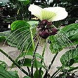 Tropica - Gigante de Nepal - Flor de Murciélago (Tacca nevia white) - 10 Semillas