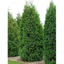 Thuja Brabant Occidentalis - Lebensbaum winterhart & pflegeleicht - Thujen-Hecke als Sichtschutz - Heckenpflanze 125-150 cm - 1 Pflanze im Container von Garten Schlüter - Pflanzen in Top Qualität