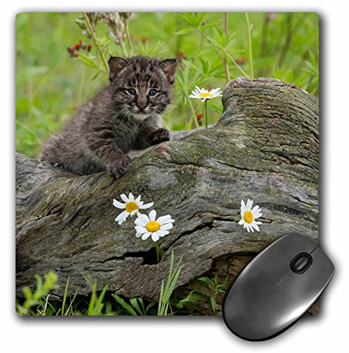 danita-delimont-jaynes-gallery-big-cats-usa-minnesota-sandstone-bobcat-kitten-on-a-log-mousepad-mp-1