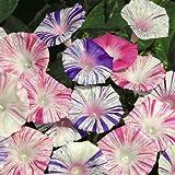 100Mix Semillas de Laila Kujala, color azul, blanco, y más (Ipomoea Tricolor)
