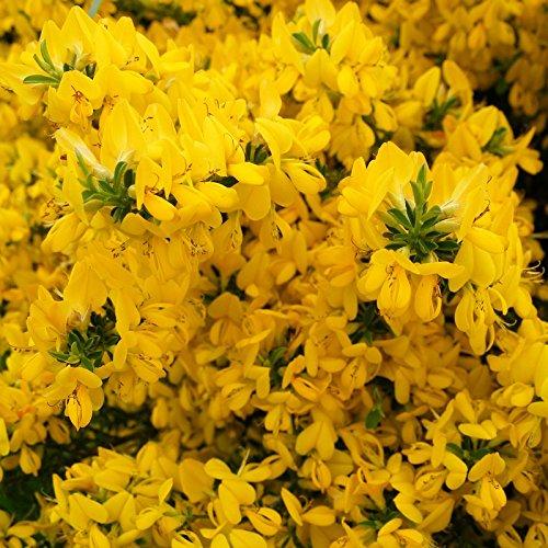 genista-tinctoria-royal-gold-genat-des-teinturiers-genestrelle-jaune