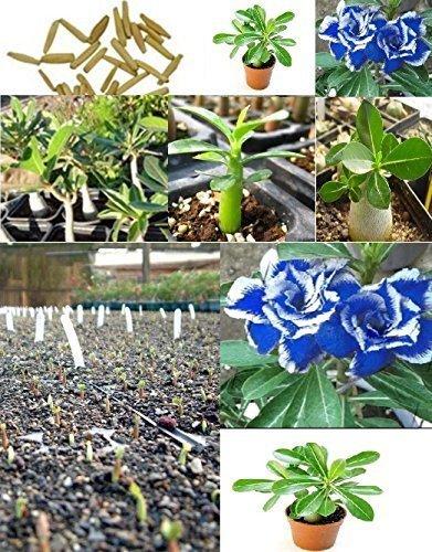 5x Adenium obesum Wüstenrosen Zimmerpflanze Samen Frisch Pflanze Baum Blumen Bonsai blau #382
