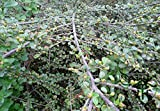 Shopmeeko ^^ Famiglia Rosaceae Cotoneaster Horizontalis ^^ 100pcs / Bag, Rockspray Cotoneaster Short Shrub ^^, Paesaggio Ping Zhi Xun Zi ^^