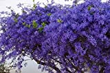 Lisa S. Engelbrecht / DanitaDelimont - Plumbago Shrub Paul Kruger's House Pretoria Gauteng South Africa Photo Print (20,32 x 25,40 cm)