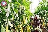 100pcs weiße lange Auberginen Samen asiatischen Obst & Gemüse Samen Hohe Keimungrate Anlage für Heim & Garten Pflanze einfach 1 wachsen