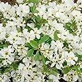 """Perlenstrauch, (Exochorda) """"The Bride"""" weiß blühend, 40 - 60 cm hoch, 1 Pflanze von Amazon.de Pflanzenservice bei Du und dein Garten"""