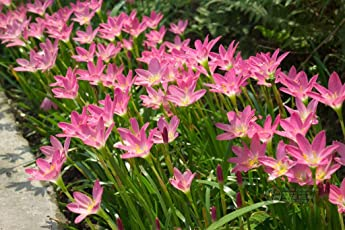 Rain lily Dark pink (Zephyranthus rosea) a pack of five bulbs