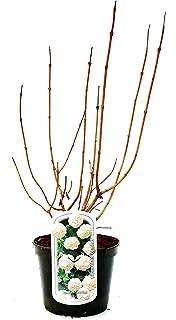 Kornelkirsche Cornus mas Jolico im Topf gewachsen ca 40-60cm