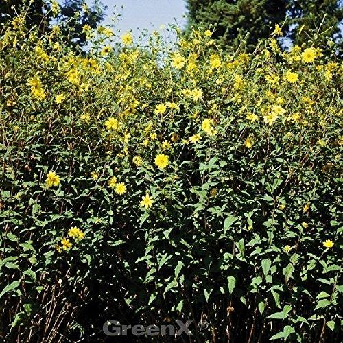 Herbstblüher Anemone (