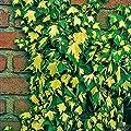 Variante Efeu von Garten Schlüter - Du und dein Garten