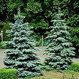 Semi di abete rosso, Colorado, Semi di abete rosso - Picea pungens glauca