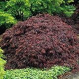 Japanischer Fächerahorn Garnet - 5 bäume
