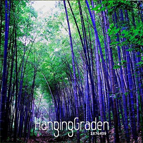 Bestseller! Seltene lila Timor Bambussamen Bambusa schwarzer Bambus Samen gepflanzt Hof Yi 100 PCS / bag, # QM1EE7