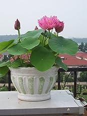 Generic Perfarmers 10 Pcs Lotus Flower Seeds With Activator Liquid Organic Seed Starter