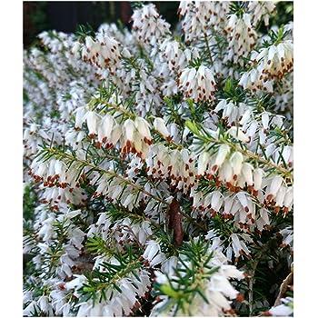 3 pack 9cm pots heather erica carnea springwood white winter 3 pack 9cm pots heather erica carnea springwood white winter heath mightylinksfo