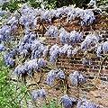 Glyzinie blau von Meingartenshop auf Du und dein Garten