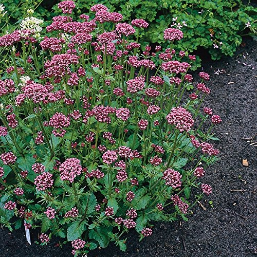 herb-seeds-valerian-red-200-seeds