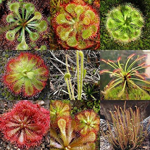 drosera-sundew-mixed-seeds-20-seeds