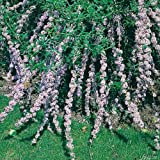 Hänge-Schmetterlingsflieder - Sommerflieder (Buddleja) Pflanze in hellem lila, halbschattig und winterhart - Flieder-Strauch von Garten Schlüter