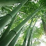 TOYHEART 200 Piezas De Semillas De Flores De Primera Calidad, Semillas De Bambú, Semillas De Jardín Frescas Gigantes Ornament