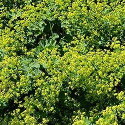 Dominik Blumen und Pflanzen, winterharte Staude Frauenmantel, Alchemilla mollis, gelb blühend, 5 Pflanzen, 7 - 9 cm Topf, 10 - 20 cm hoch