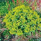 Kölle Frauenmantel 'Thriller' - Alchemilla mollis 'Thriller' - leuchtend gelbe Blüten - Bienenstaude im 9 cm Topf - frisch aus der Gärtnerei - Pflanzen Gartenstaude