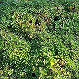 Aubrieta cult.'Bressingham Red' (Blaukissen) im 9 cm Topf