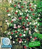 BALDUR-Garten Winterharte Garten-Kamelie 'Tricolor', 1 Pflanze Camellia japonica